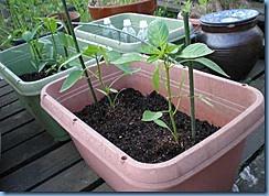 シシトウの苗の植え付け